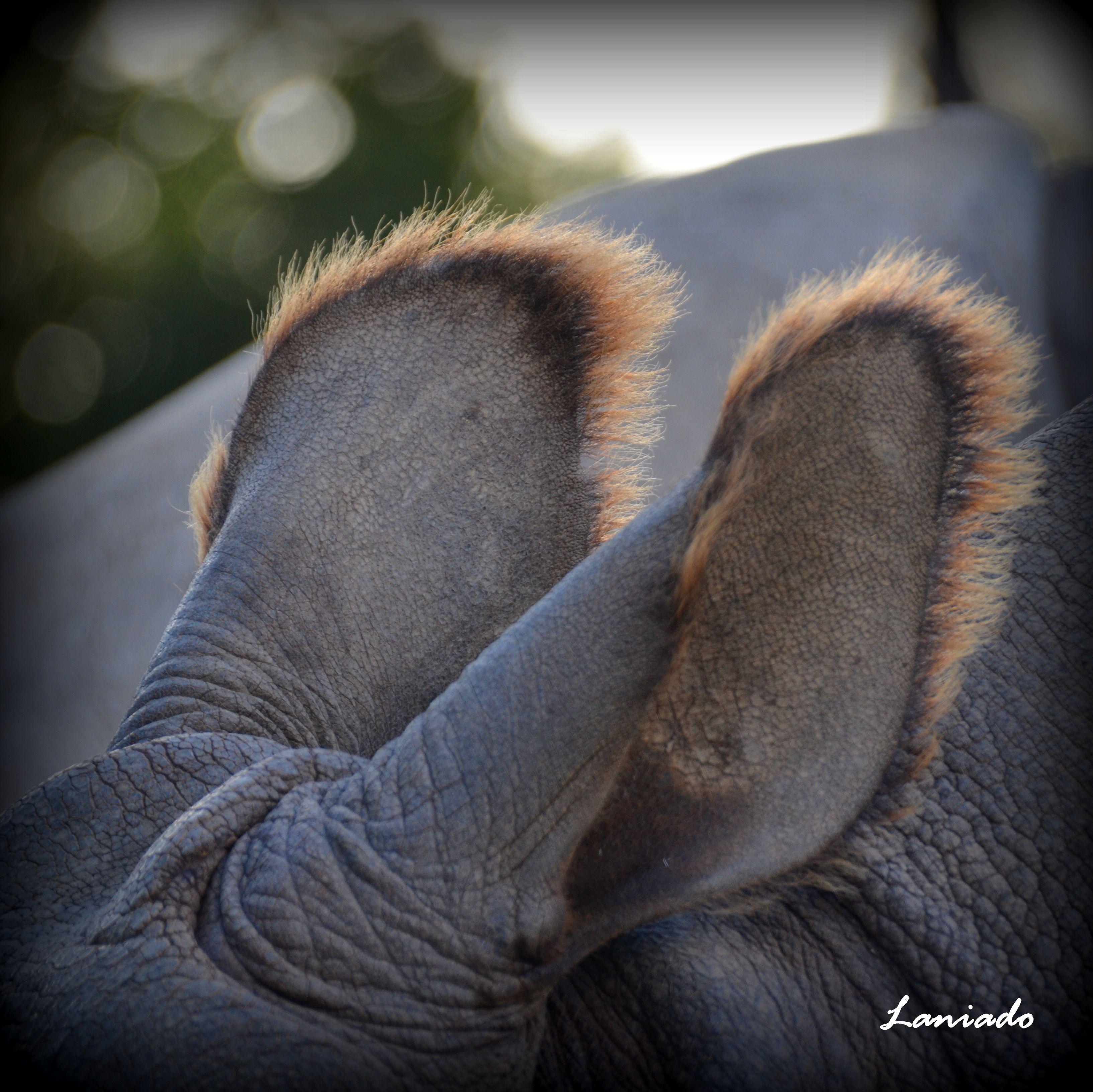 Orejas de rinoceronte.