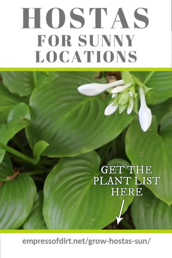 There are plenty of hostas that do fine in sunny locations if you keep them watered. Get the plant list here. #hostas #fullsungarden #gardentips #empressofdirt