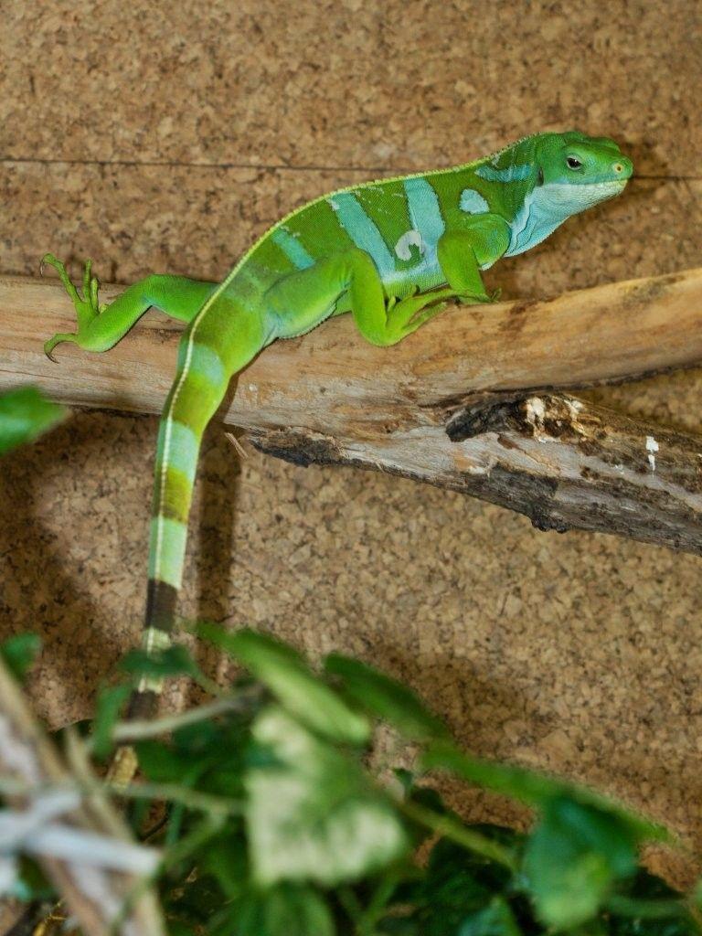 Reptiles Iguanidae Iguania Brachylophus