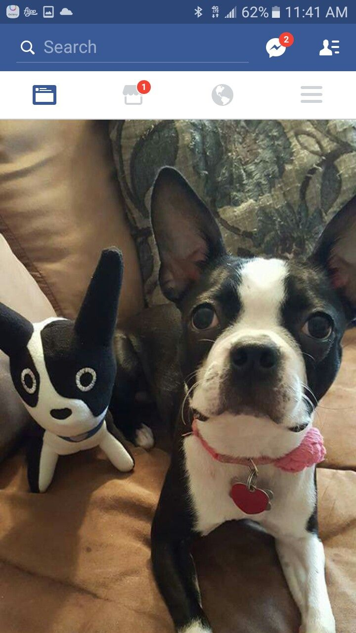 Pin By Tonya Anderson On Boston Terriers Crazy Gracie Boston Terrier Funny Dogs Terrier