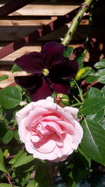 Giardina + C Viola CleRo Pinterest Clematis, Garten and Rose