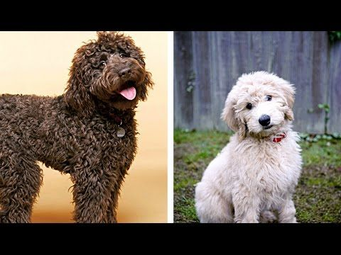 Labradoodle Vs Goldendoodle Funny Videos Similarities And