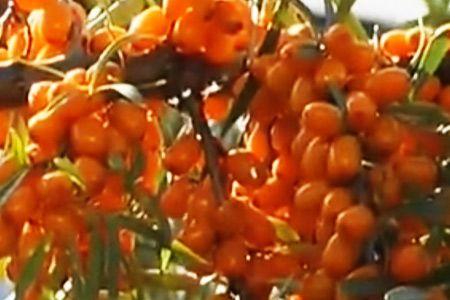 Облепиха — одна из самых полезных ягод, которые растут в нашей полосе