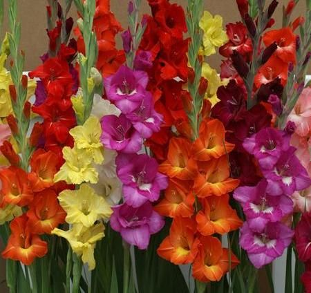 Gladiolus Growing A Beginners Guide Bulb Flowers Easiest Flowers To Grow Gladiolus