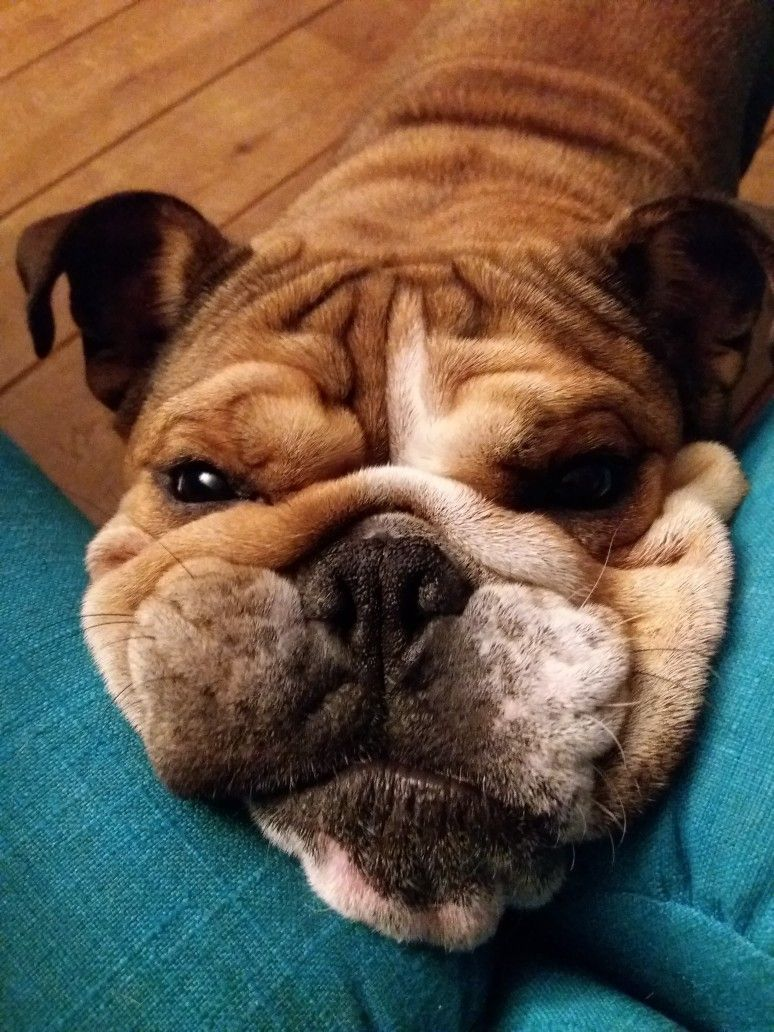 Squishy Face Bulldog Cute Dog Pictures