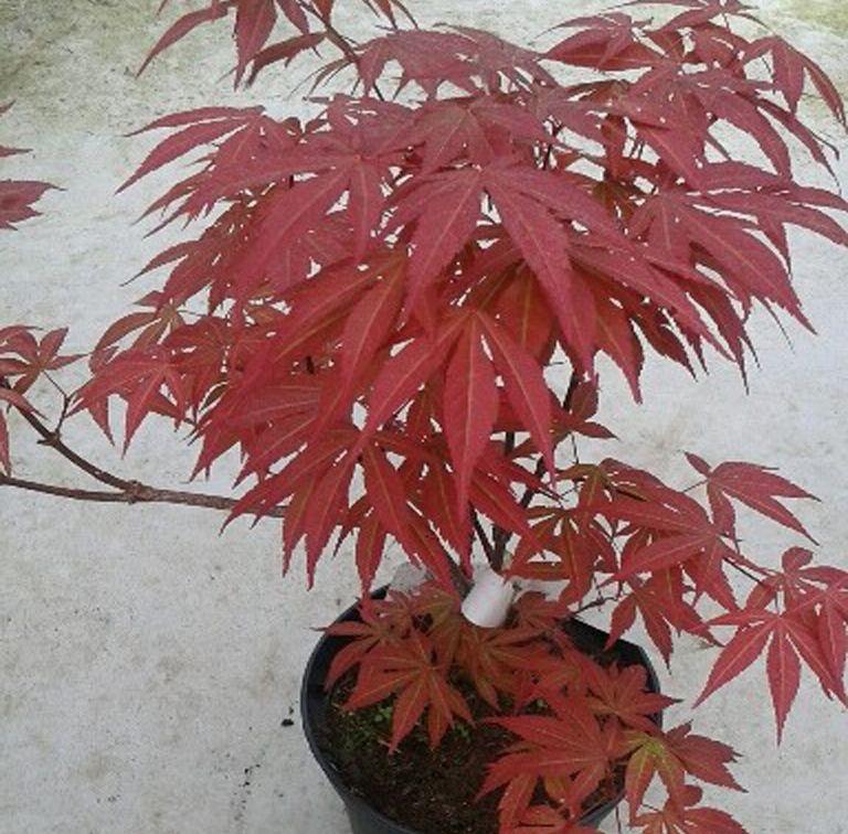 Acer Palmatum Atropurpurea O Arce Japonés Acer Palmatum Jardinería En Macetas Arce Japones