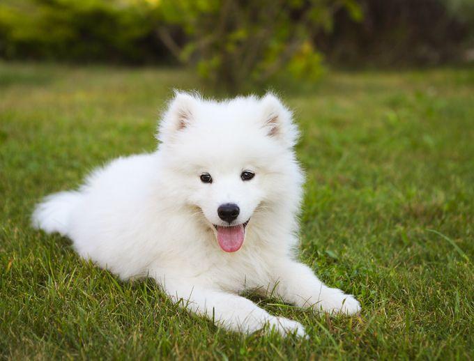 Samoyed Dog Breed Information Pictures Characteristics Facts Dogtime Dog Breeds Samoyed Dogs Samoyed Puppy