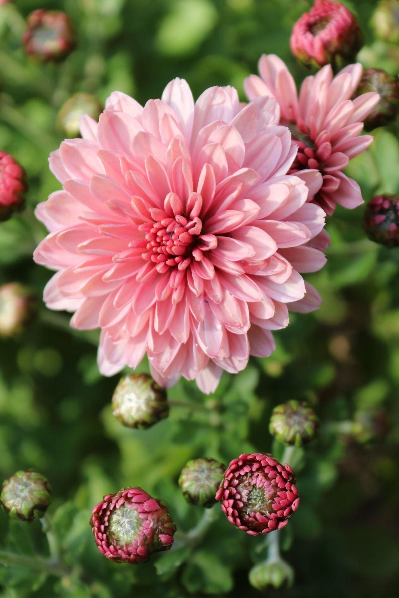 Bellasecretgarden in 2020 Chrysanthemum flower, Birth