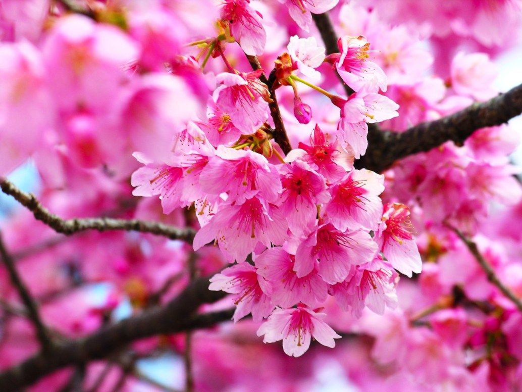 Gambar Bunga Sakura Pink Merah Muda Beautiful Flower Cherry Blossom Wallpaper Bunga Tulip