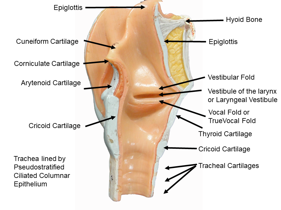 Image Showing The Internal View Of The Larynx Small Trachea