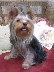 Adopt Teagan On Too Cute Pinterest Yorkie Yorkshire