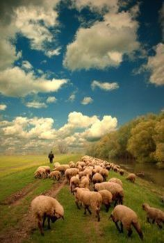 Sheep In Serbia