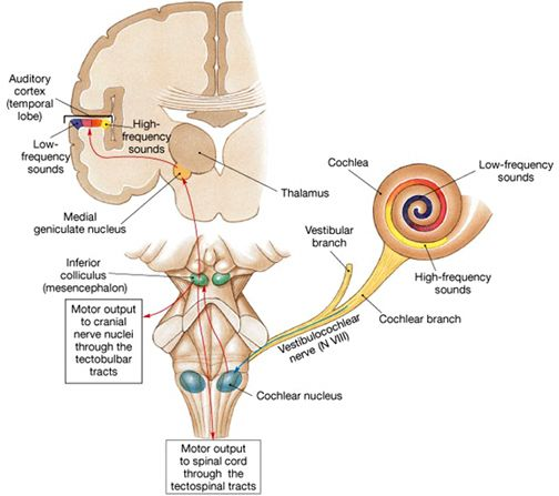 auditory pathway of hearing | Anatomy of Central Auditory Pathways ...
