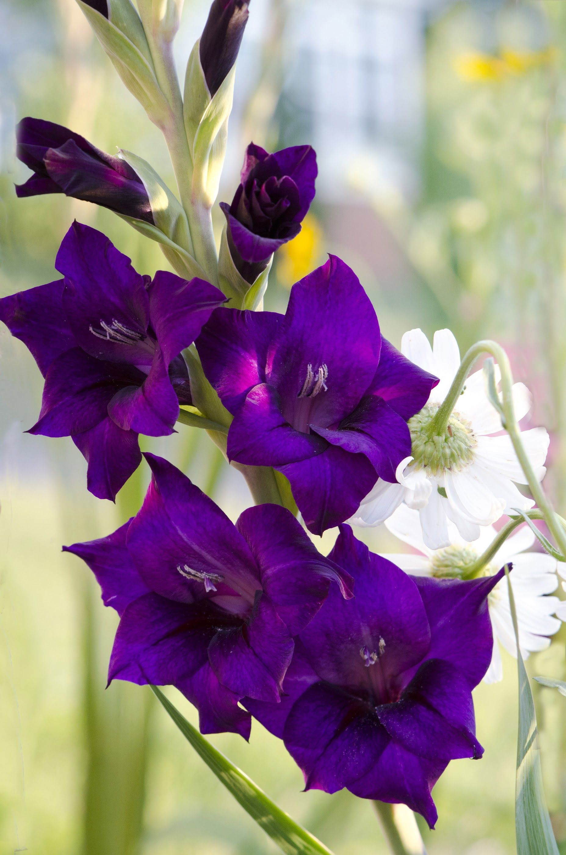 August Birth Flowers Are The Gladiolus And Poppy Gladiolus Meaning Of Flowers Is Preparedness Strength S August Birth Flower Birth Flowers Gladiolus Flower