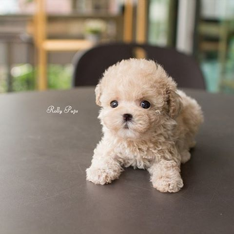 Creme Cream Female Toy Poodle Creme Is Here Rollyteacuppuppies