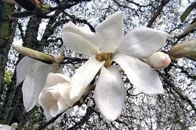 Magnolia: Att plantera en magnolia