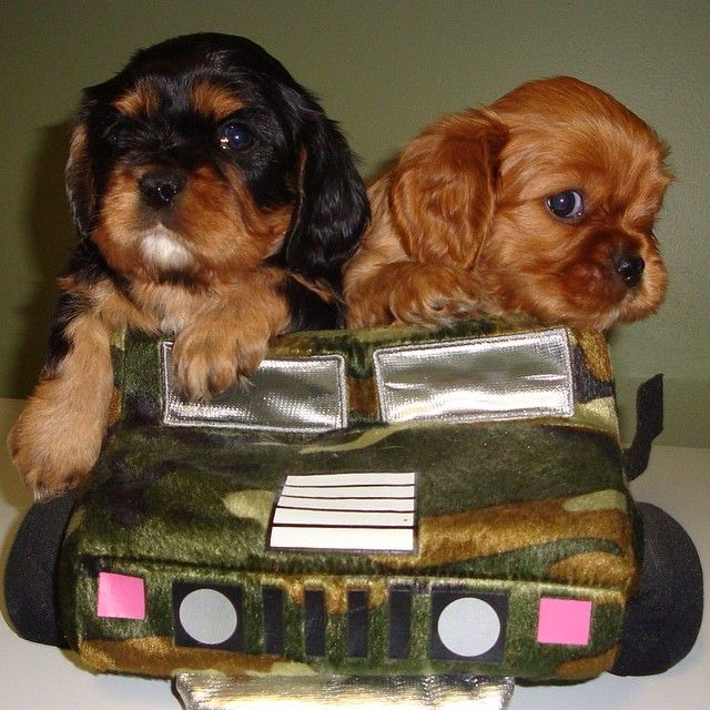 Bode Toby Cavalier King Charles Spaniel Tricolor Cavalier King Charles Spaniel Cavalier Puppy