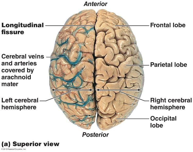 Lobes sulci and fissures of the cerebral hemispheres the lobes sulci and fissures of the cerebral hemispheres ccuart Images