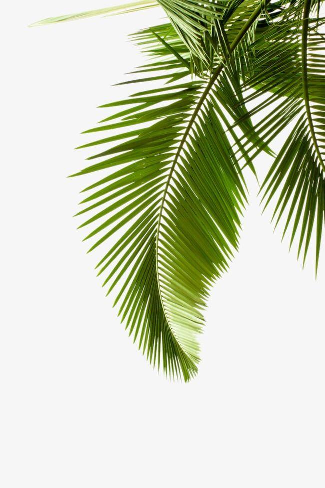 15+ Palm leaf clipart png information