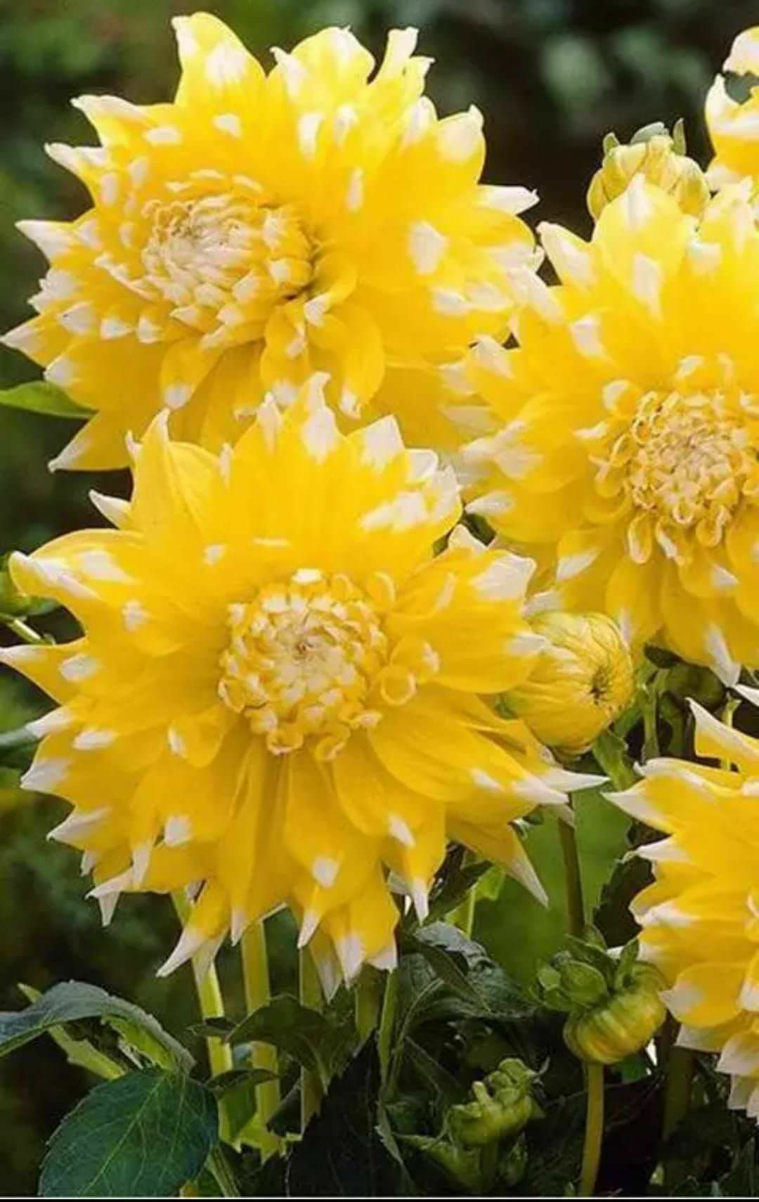 Giant yellow dahlias garden pinterest dahlia flowers and gardens giant yellow dahlias izmirmasajfo