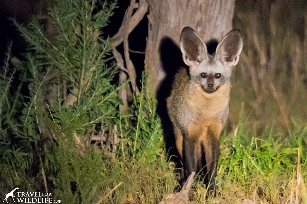 Bat Eared Fox Facts Bat Eared Fox Fox Facts Animal Facts