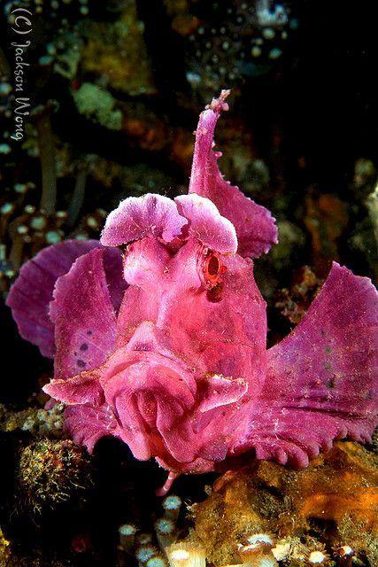 Eschmeyers scorpion fish...venomous.