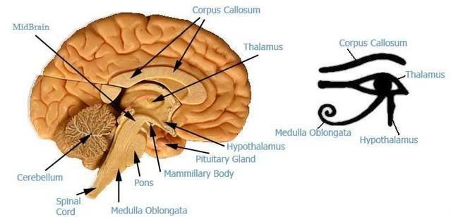 Eye of horus meaning eye of horus reptilian brain and neo cortex eye of horus meaning eye of horus reptilian brain and neo cortex ccuart