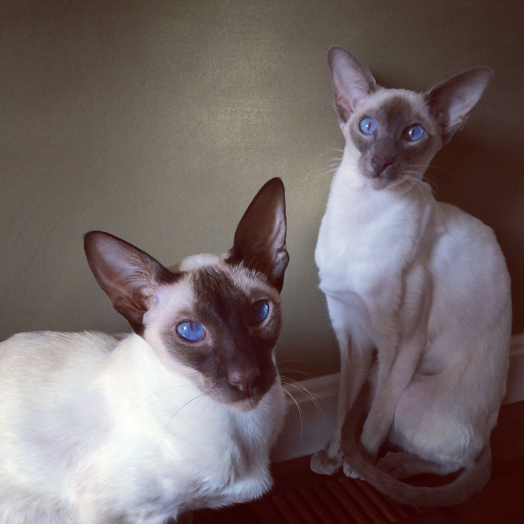 Posing Siamese cats Siamese cats, Beautiful cats