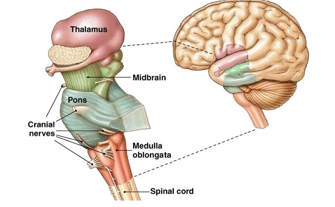 This image presents the structures of the brainstem and the ...