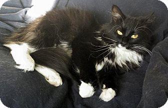 Fenton Mo Turkish Angora Meet Dutchess A Cat For Adoption Cat Adoption Kitten Adoption Angora Cats