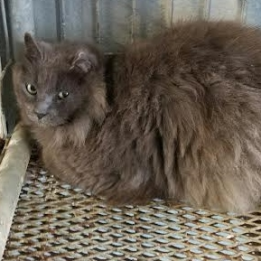 Baloo Is A Domestic Medium Hair Available For Adoption From Austin Pets Alive Pets Adoption Cats