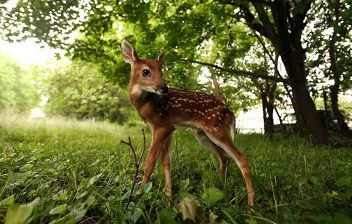 Real Bambi.