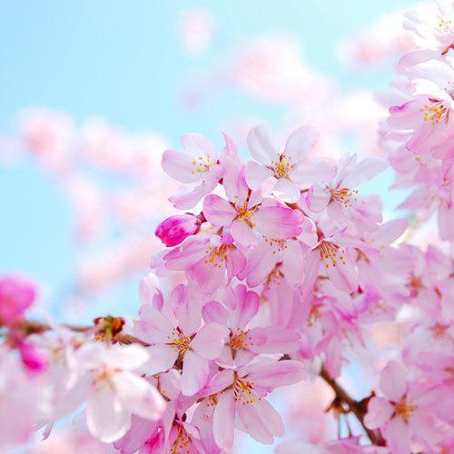 Cherry Blossom Fragrance Oil Bramble Berry Soap Making Supplies Espanol