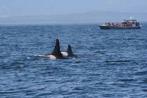 whale watch and see Orcas