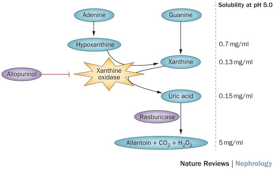 Uric Acid Pathway Metabolic pathways inv...