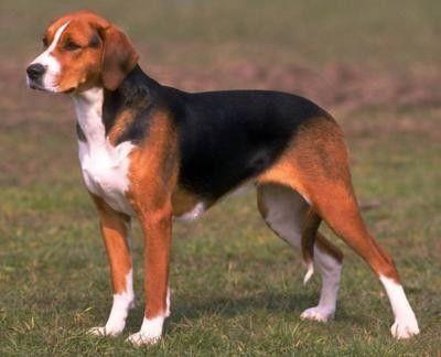 Hamiltonstovare Foxhound Dog Dog Breeds American Foxhound