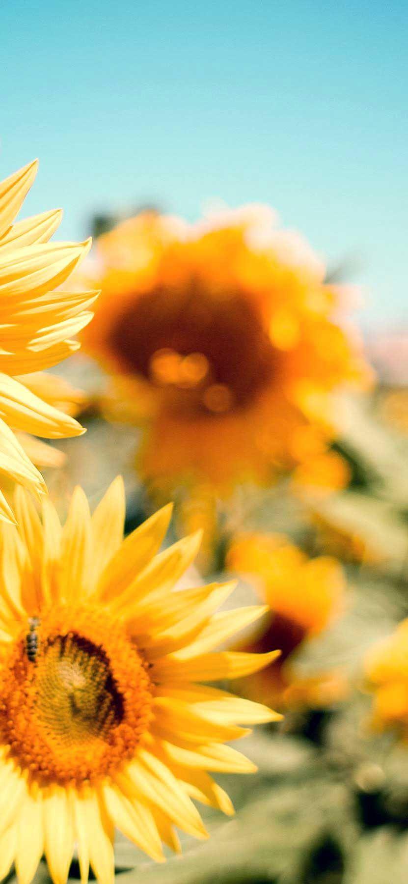 Iphone Wallpaper Golden Sunflower Desktop Wallpaper Hd In 2020 Iphone Wallpaper Best Nature Wallpapers Macbook Wallpaper