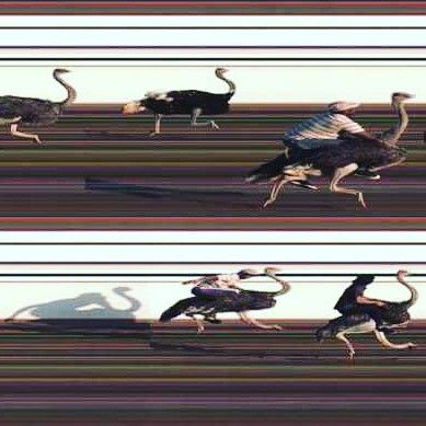 #finishlynx capture of ostriches crossing the finish line. #slitscan #runnerspace #tracknation