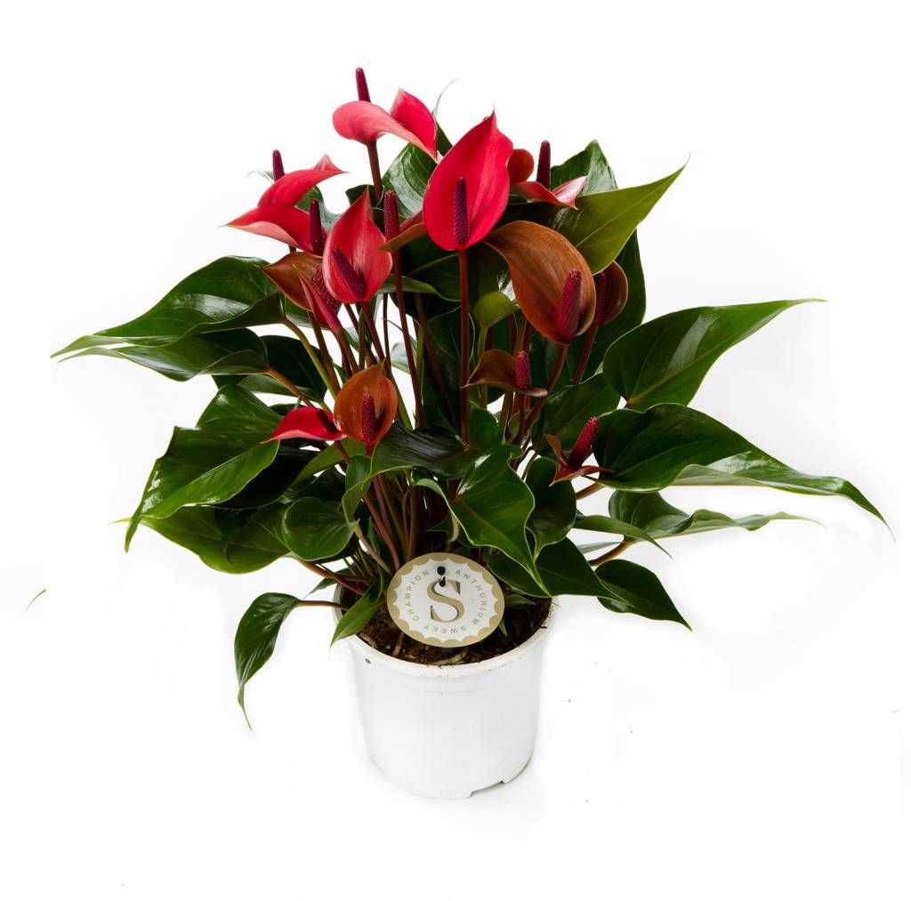 Anthurium (male happiness): care and reproduction at home 63
