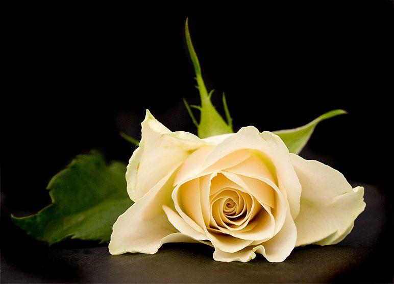 Solitude: Symboliek van de roos