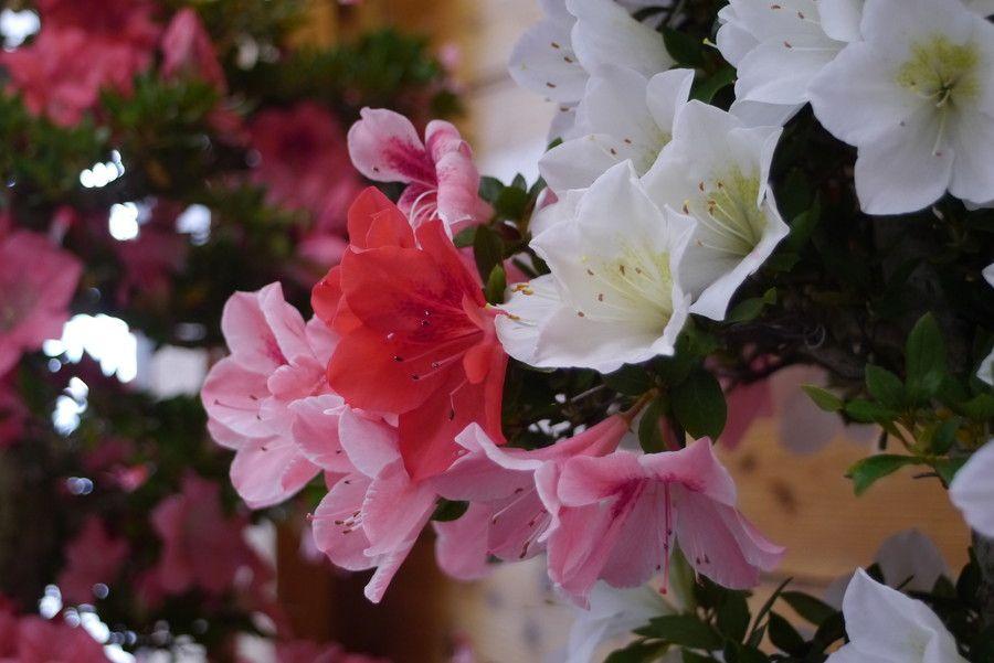 Satuki azalea