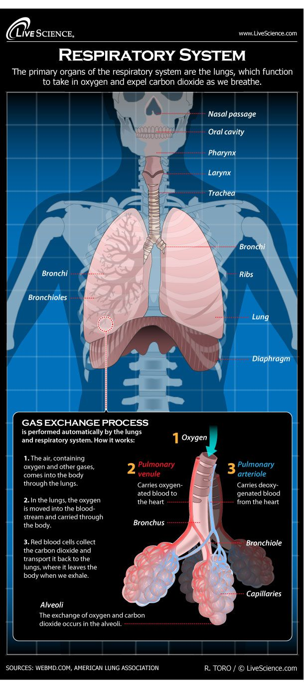 Diagram Of The Human Respiratory System Infographic Anatomy