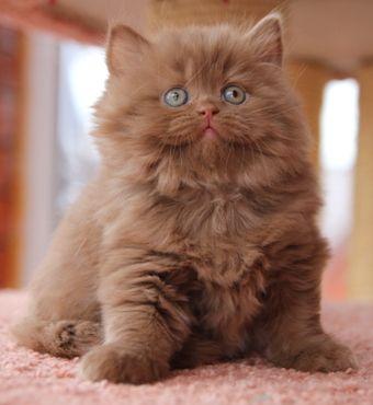 Cinnamon British Longhair Adorable Cute Cats Beautiful Cats