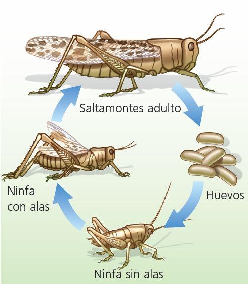 Resultado de imagen de reproduccion del saltamontes | Insectes ...