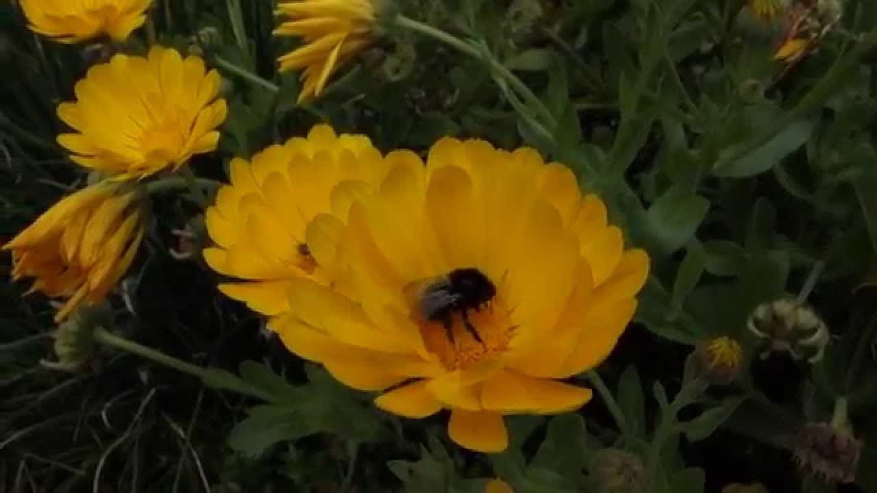 Souci, Calendula officinalis   Fleurs