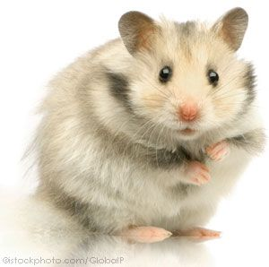 All About Syrian Teddy Bear Hamster
