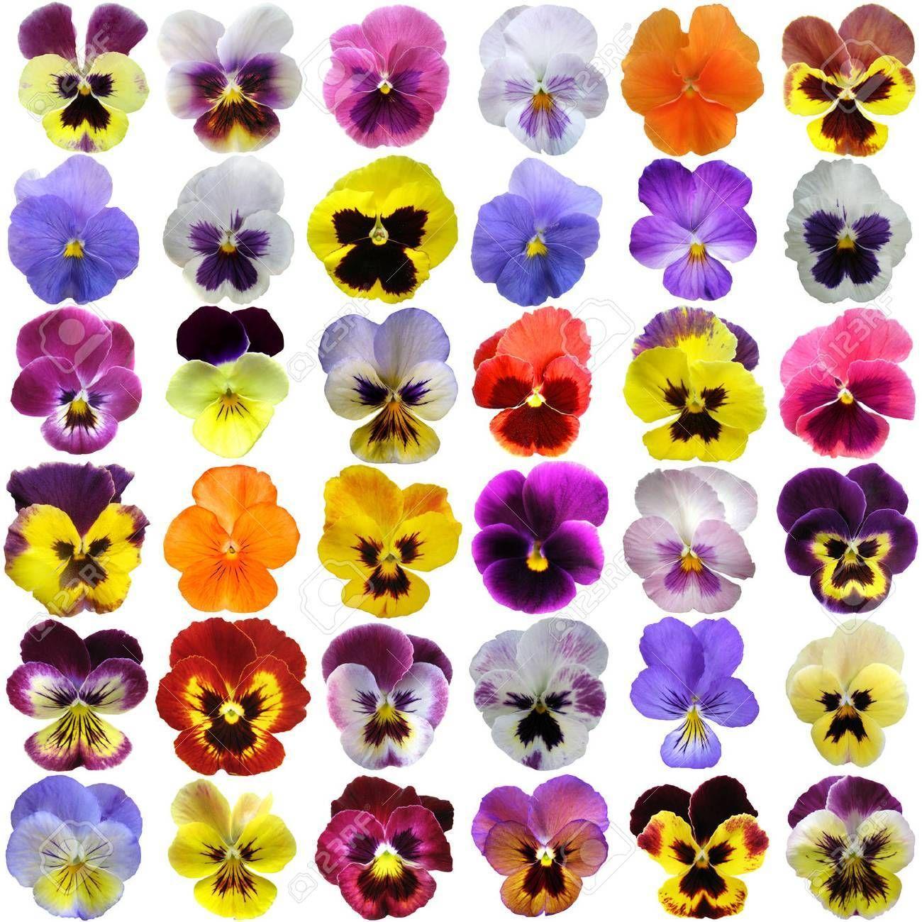 Pansies On White Background In 2020 Pansies Flowers Flower Painting Flower Art