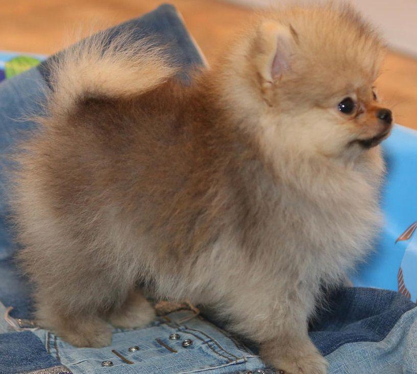 Usercontent Kumalo 4892280 6335967 Jpg Pomeranian Puppy