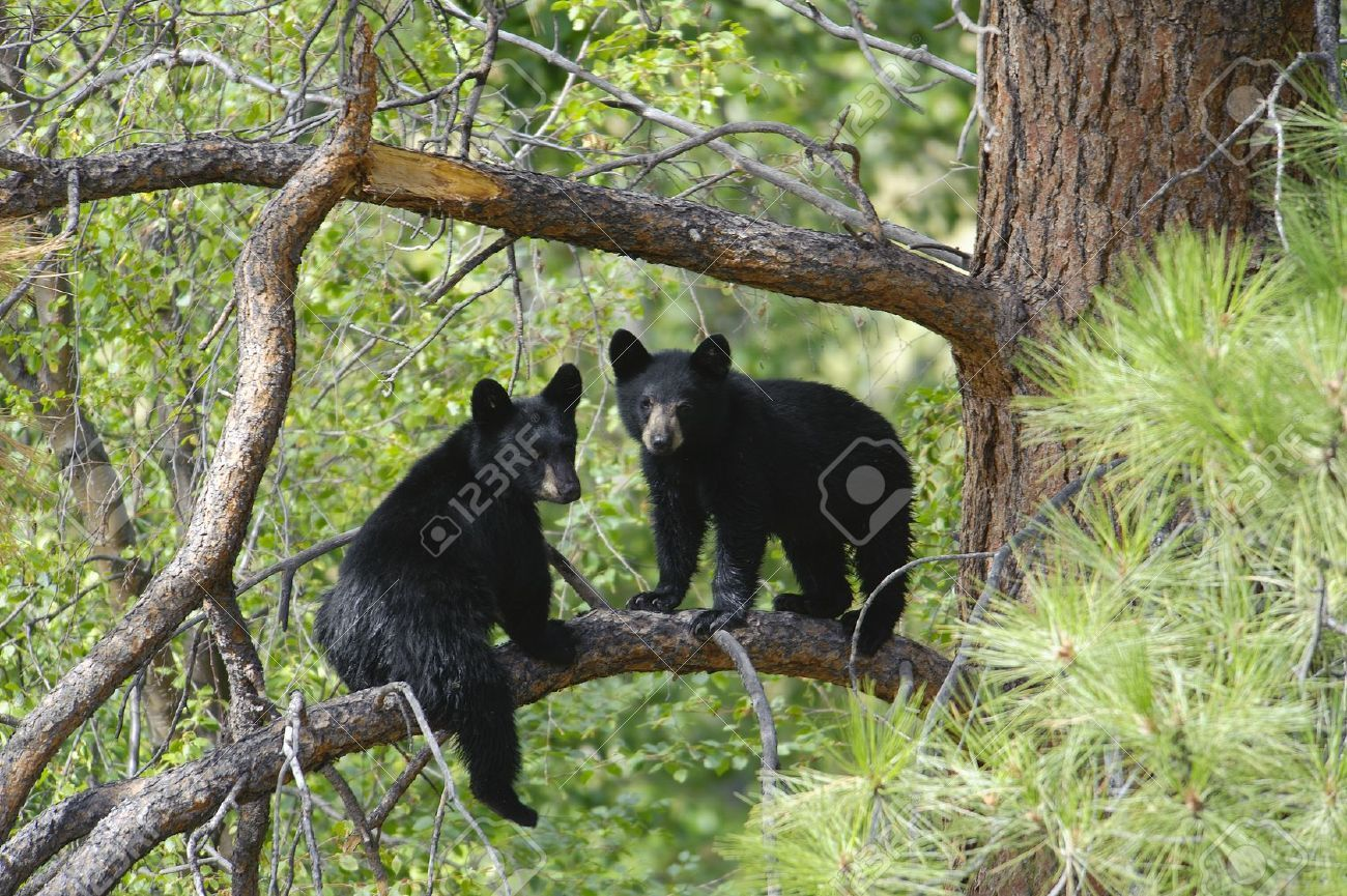Two Black Bear Cubs Sitting On A Tree Branch Up A Pine Tree. Stock ...