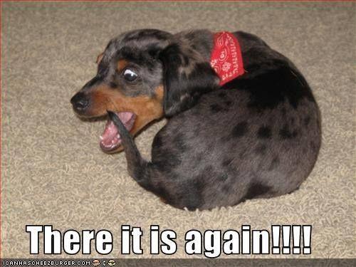 .this looks like my dog yes Dackel zitate, Dackel meme